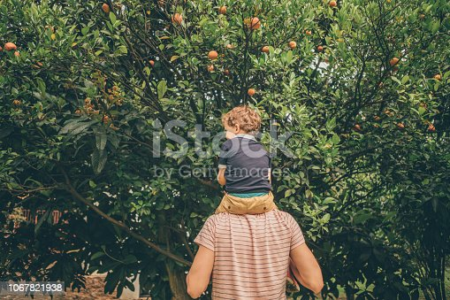 Boy harvesting oranges from tree