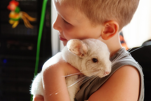 Boy Hugging A White Chinchilla Stock Photo - Download Image Now