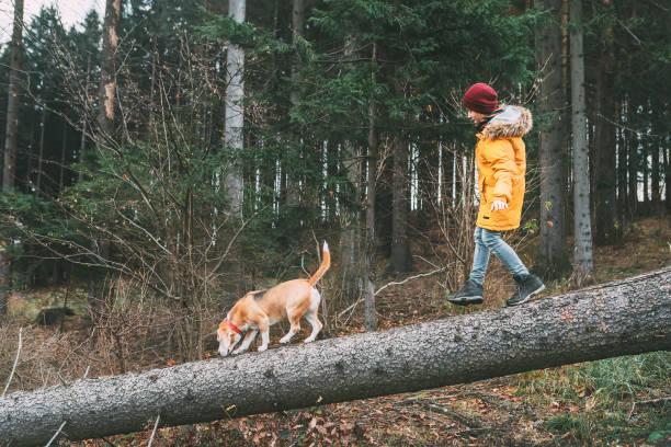明るい黄色のパーカーを着た少年が落下の木に松林をビーグル犬と歩く - ダウンジャケット ストックフォトと画像