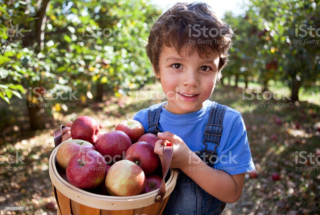Boy in Orchard with basket of freshly picked apples. royalty-free stock photo