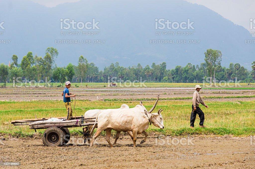Boy leading oxcart stock photo