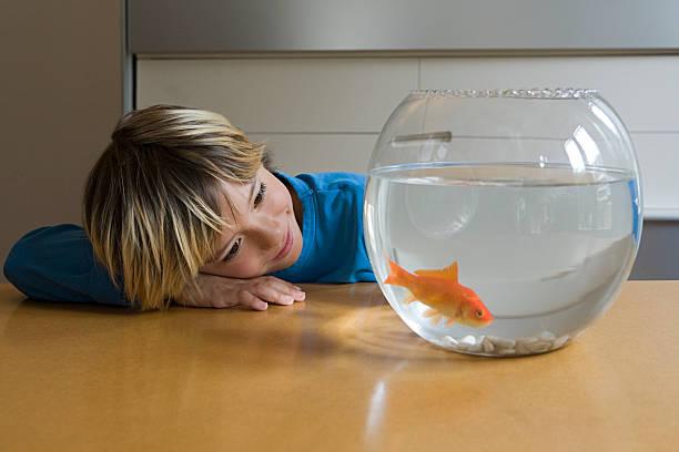 Boy looking at goldfish stock photo