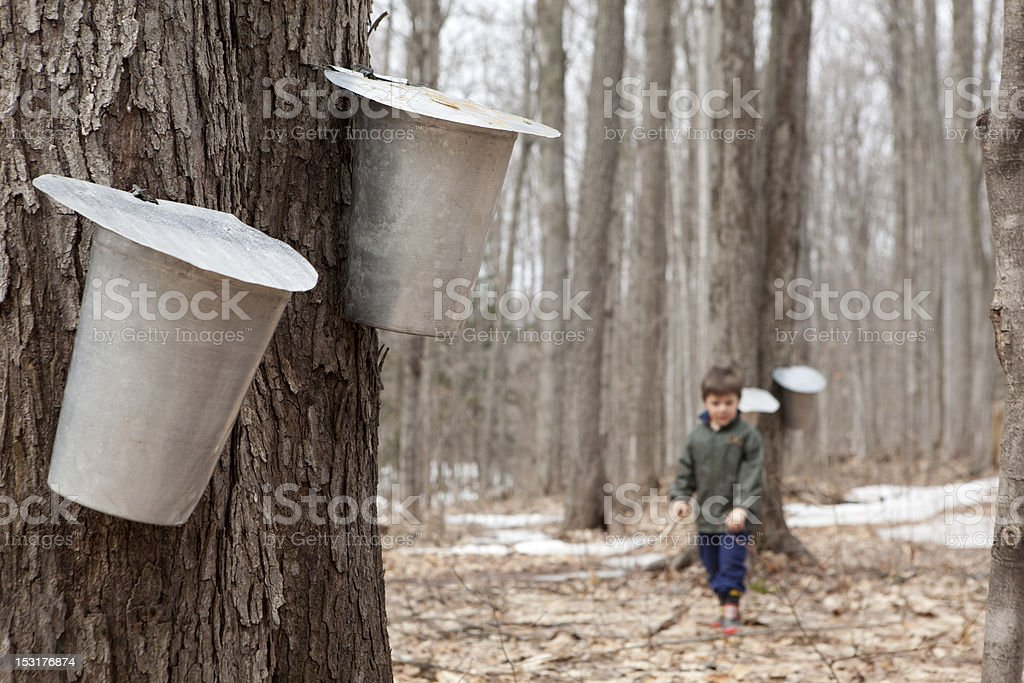 Boy looking for sap royalty-free stock photo