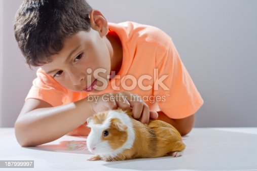 Child stroking her pet guinea pig white and brown spots
