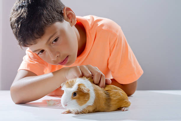 Boy looking his pet guinea pig picture id187999997?b=1&k=6&m=187999997&s=612x612&w=0&h=5t5jsl isvoikxk9b4vggvoc7v5cqx4 j emzya0bus=