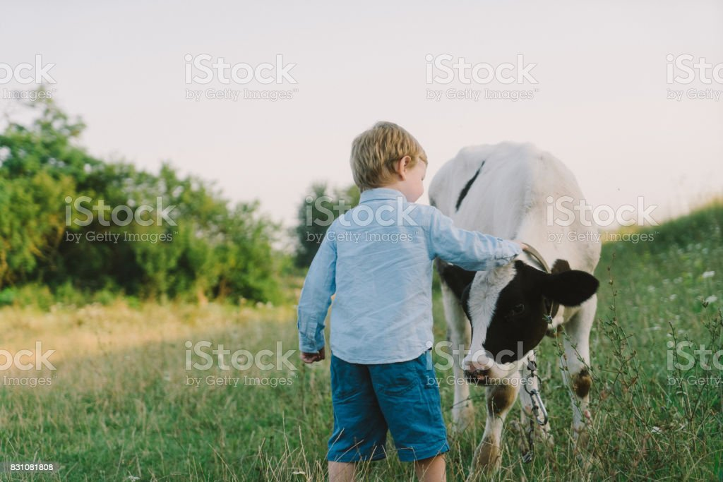 Boy petting calf on the meadow stock photo