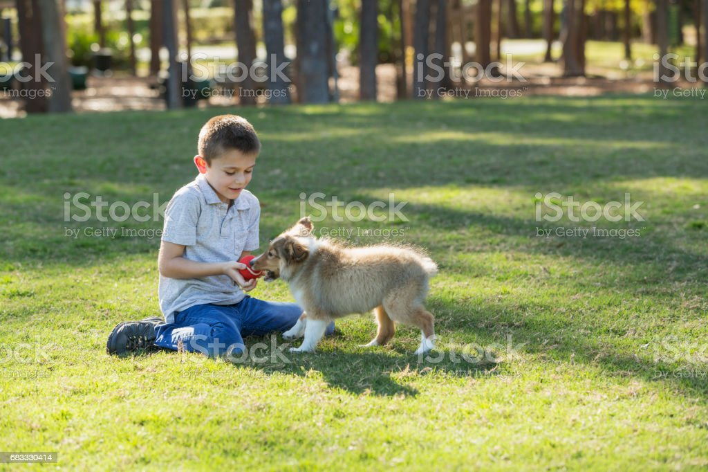 Boy playing fetch with sheltie puppy in park foto stock royalty-free