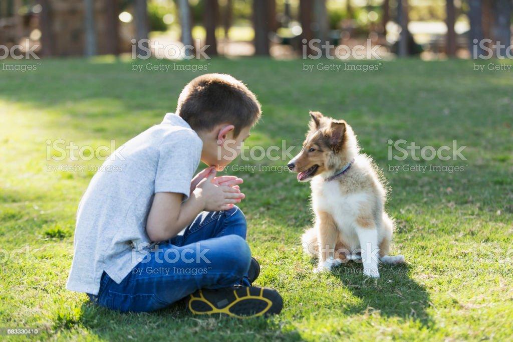 Garçon jouant avec chiots sheltie dans le parc photo libre de droits