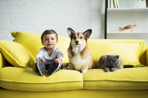 pojken sitter på gula soffa med walesiska corgi hund och scottish fold katt - kattdjur bildbanksfoton och bilder