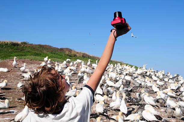boy taking pictures of northern gannets in, quebec, canada - northern gannet stockfoto's en -beelden