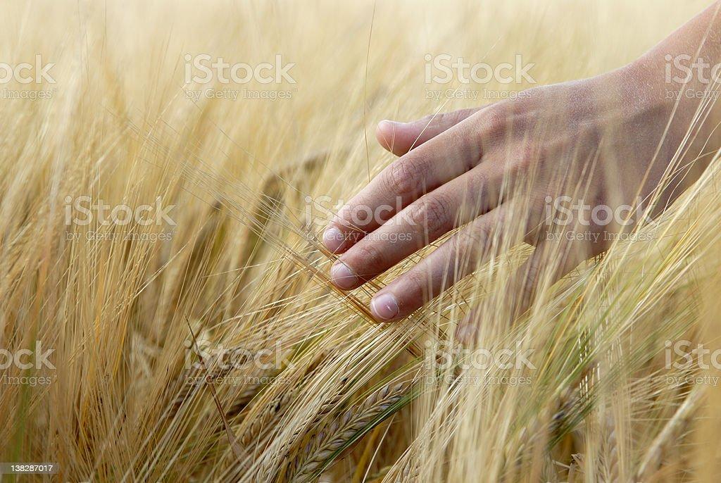 Boy touching barley stock photo