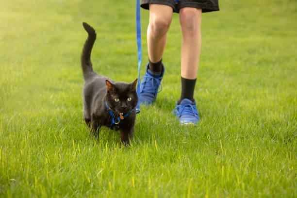 boy walking cat on a leash - katzengeschirr stock-fotos und bilder