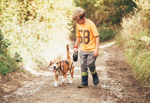 Boy walks with his beagle dog on the country road stock photo
