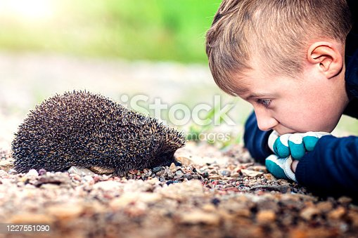 Boy watching hedgehog  (Erinaceus europaeus)