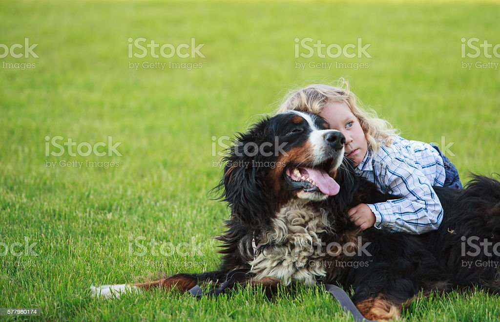 boy with curly blonde hair playing with bernese mountain dog stock photo