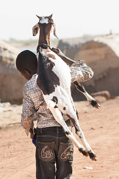 Boy with goat on the back. stock photo