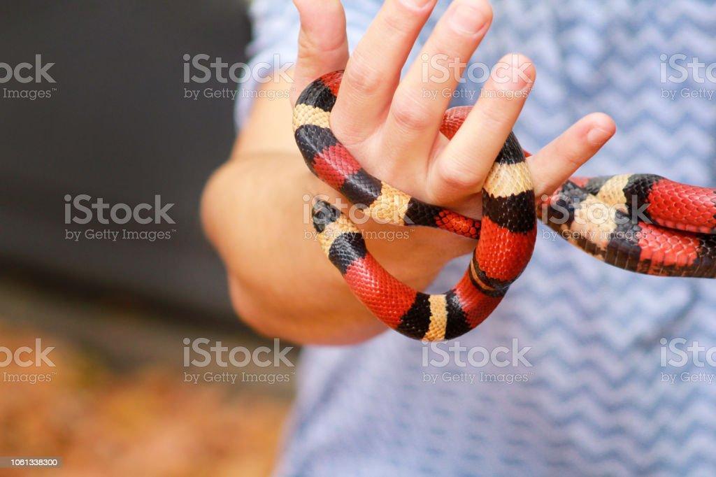 Menino com cobras. Homem detém no réptil mãos leite cobra Lampropeltis triangulum tipo Arizona de cobra. Animais de sangue frio tropicais exóticos, o jardim zoológico. Animais de estimação em casa cobras. Cobras venenosas e não venenosas. - foto de acervo