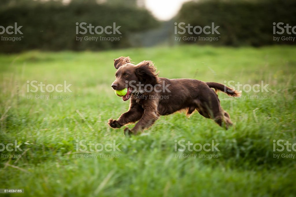Boykin Spaniel male dog stock photo