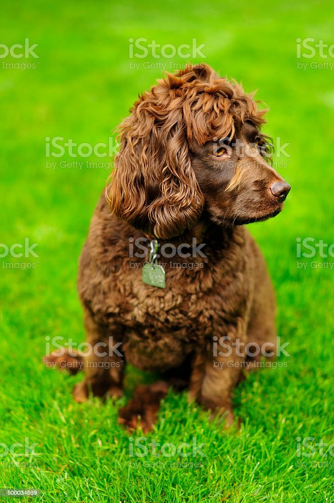 Boykin Spaniel stock photo