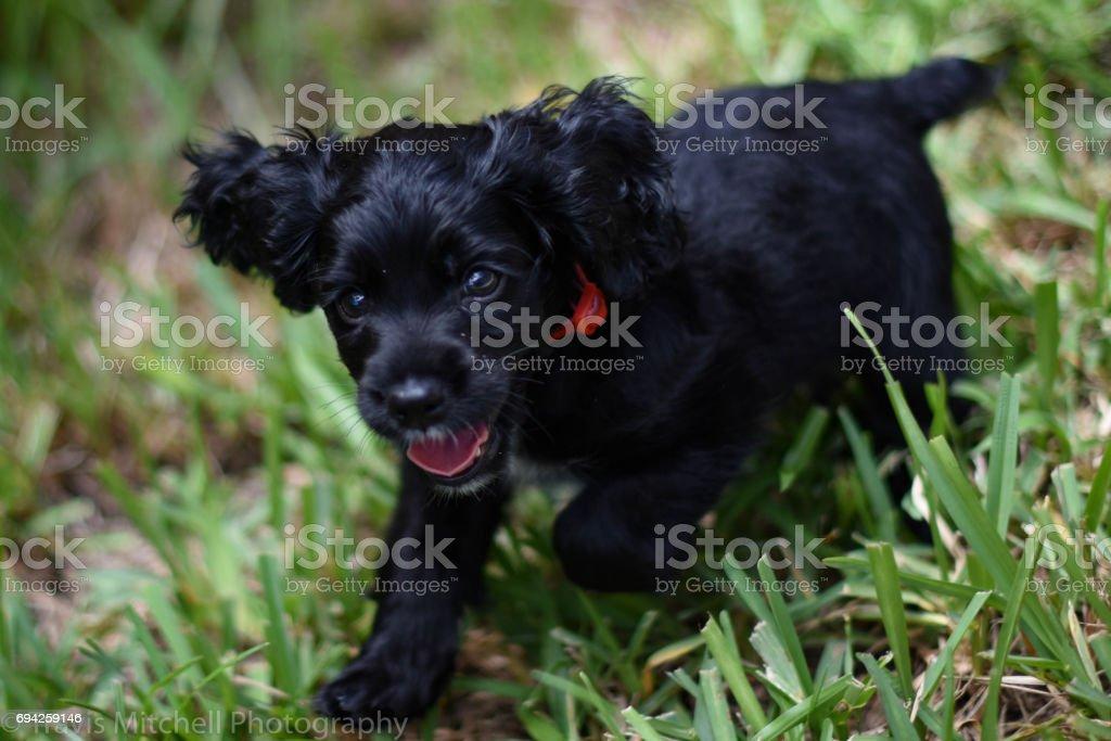 Boykin Spaniel Puppy Running stock photo