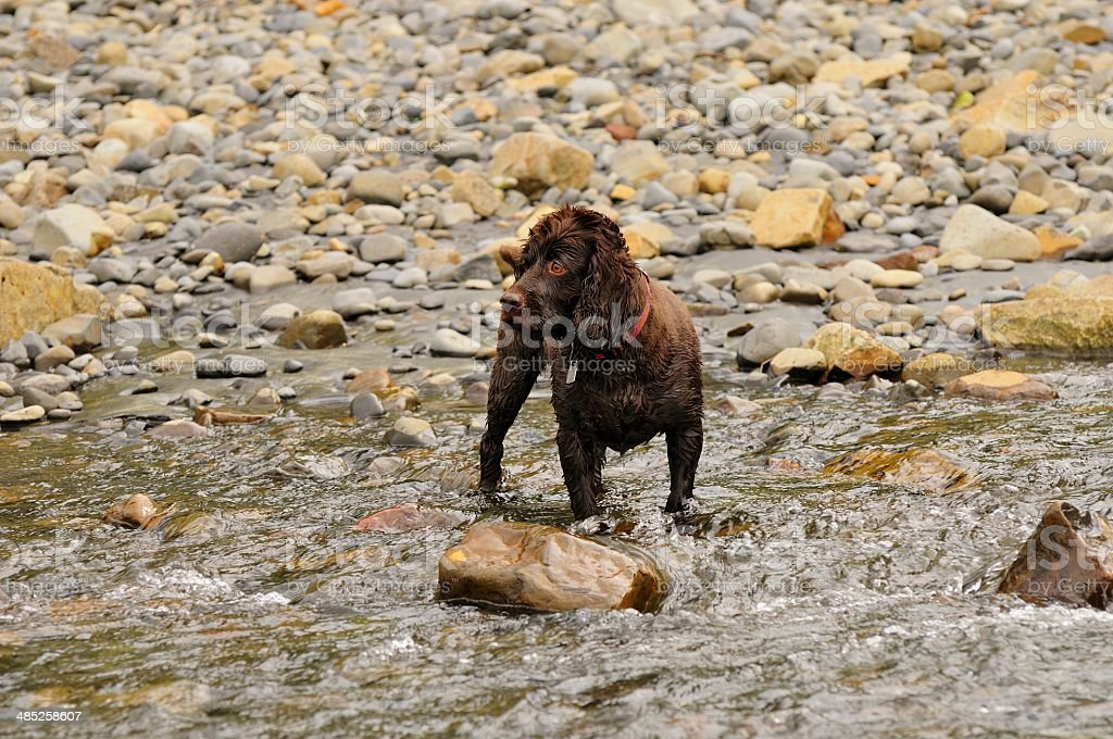 Boykin Spaniel stands in the water waiting with anticipation. stock photo