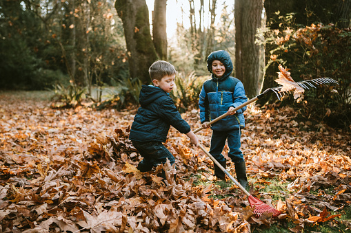 Two boys rake up a pile of maple leaves, either doing some yard work chores or preparing jump into them.  A beautiful sunny autumn day in Washington, United States.