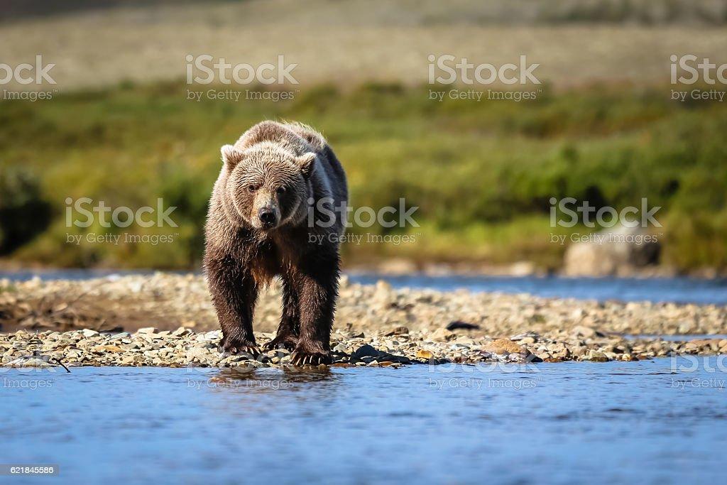 Bär in Alaska stock photo