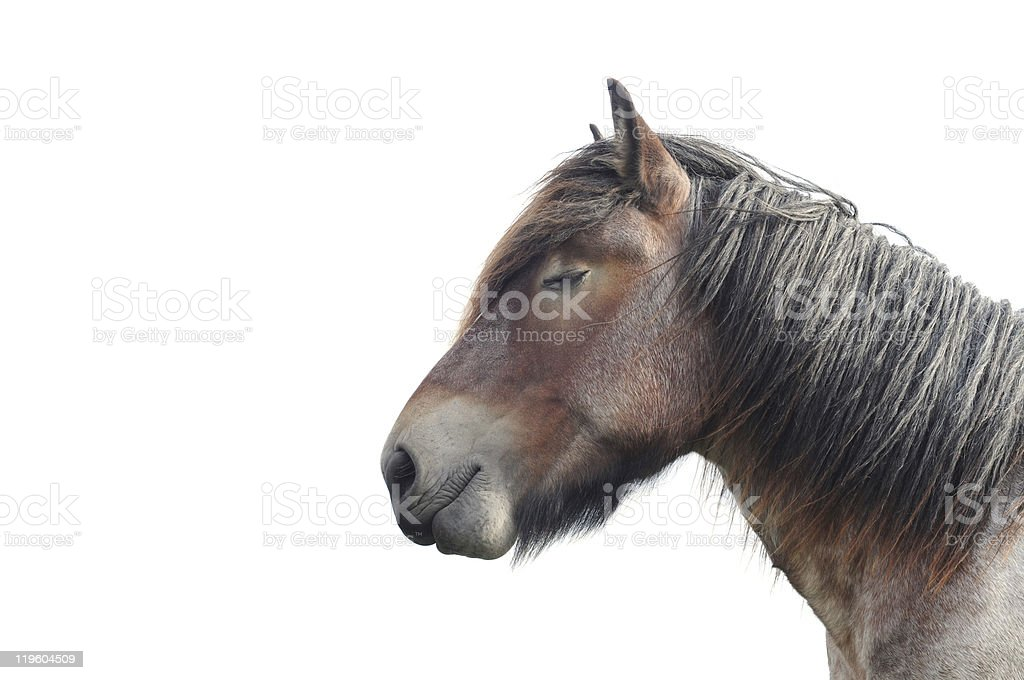Brabant draft horse on white stock photo