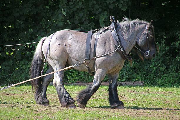 Brabant-Pferd – Foto