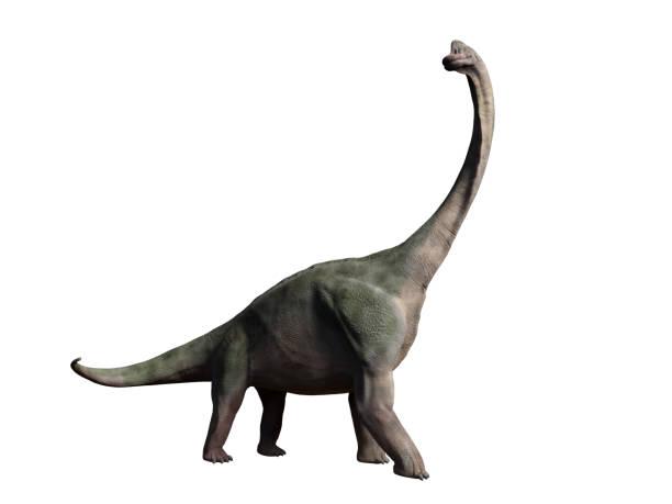 brachiosaurus altithorax aus dem späten jura isoliert auf weißem hintergrund - dinosaurier illustration stock-fotos und bilder