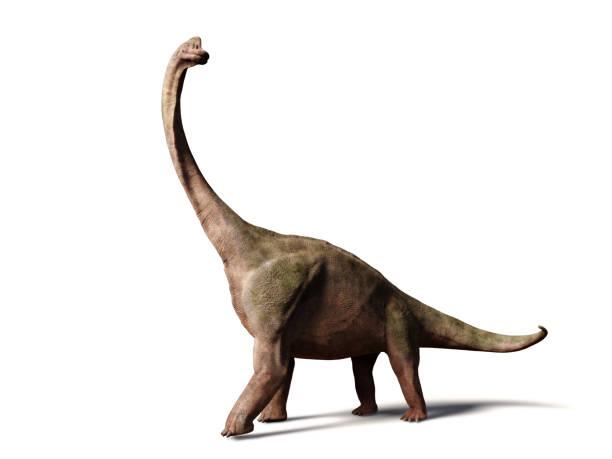 brachiosaurus altithorax aus dem späten jura (3d illustration isoliert auf weißem hintergrund) - dinosaurier stock-fotos und bilder