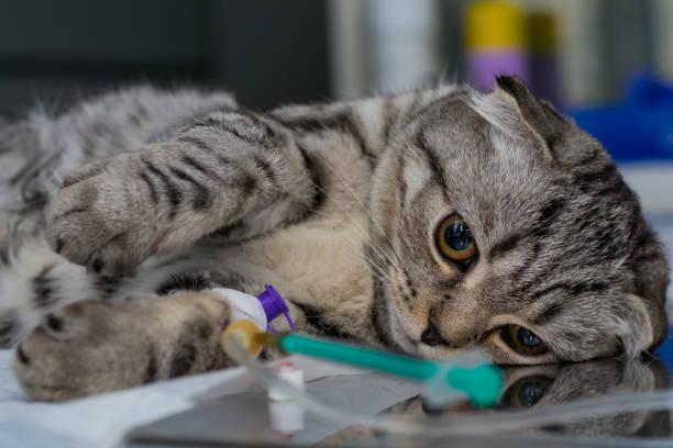 brachycephalic kat verdoofd op de veterinaire kliniek, scottish fold cat ras - ketamine stockfoto's en -beelden