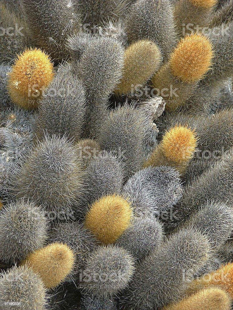 Brachycereus nesioticus ( Lava Cactus ) royalty-free stock photo