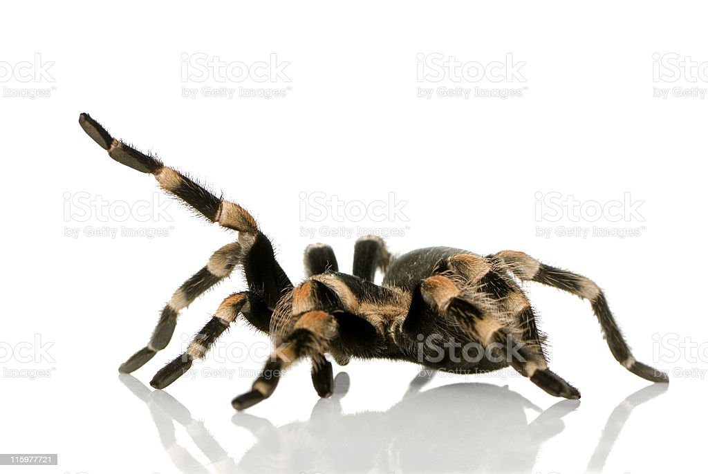 Brachypelma smithi tarantula on a white background stock photo
