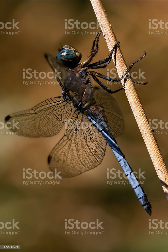 brachytron pratense on stock photo