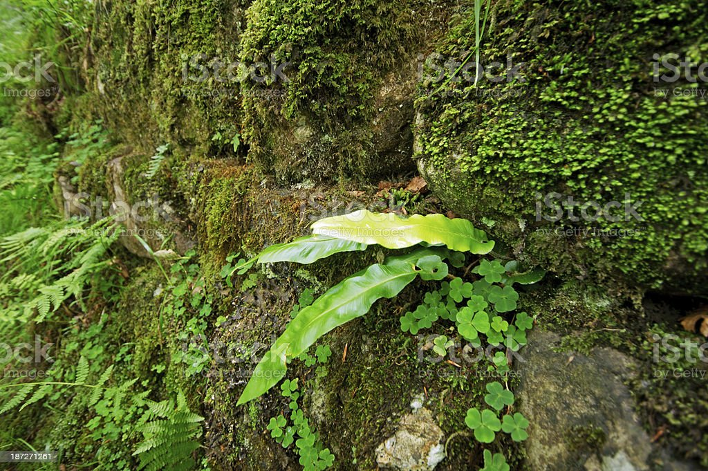 Bracken growing in a Lake District dry stone wall royalty-free stock photo