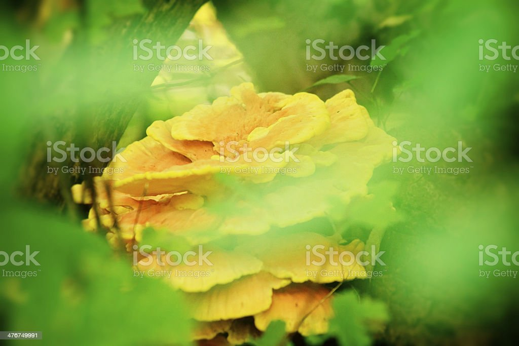 Bracket Fungus Growing ON A Tree In Point Pelee royalty-free stock photo