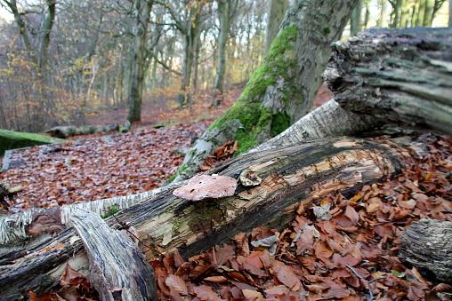 Bracket fungus (Birch Polypore) growing on fallen Birch Tree, UK