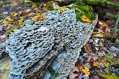 Bracket fungus on the old dead wood