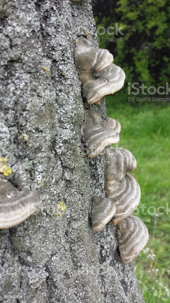 Bracket fungus royalty-free stock photo