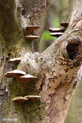 Multiple bracket mushrooms (Inonotus hispidus) growing on a tree.