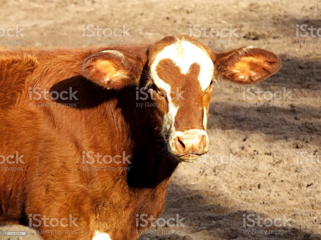 Bradford calf, a cross between a Hereford bull and a Brahman cow, is standing in a holding pen. stock photo