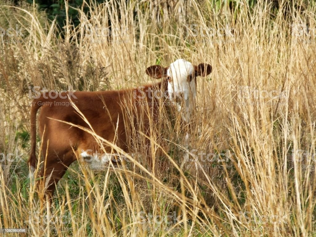 Bradford calf, a cross between a Hereford bull and a Brahman cow, is standing in a field with high grass brush stock photo