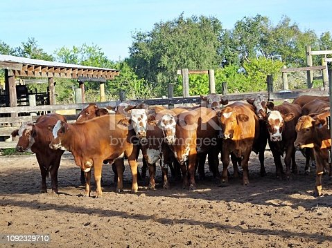 A herd of Bradford cattle standing in a holding pen.
