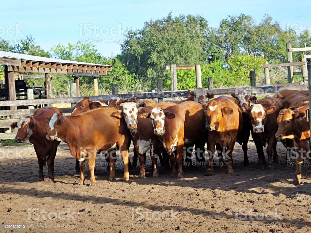 Bradford cattle, a cross between a Hereford bull and a Brahman cow, are standing in a holding pen. stock photo