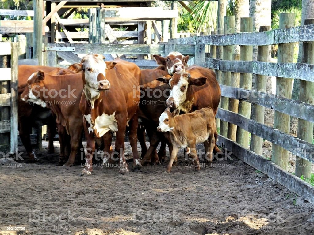 Bradford cattle, a cross between a Hereford bull and a Brahman cow, are crowded together in a holding pen. stock photo