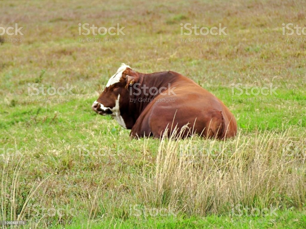 Bradford cattle, a cross between a Hereford bull and a Brahman cow, is lying down in the field stock photo