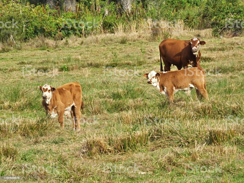 Bradford cattle, a cross between a Hereford bull and a Brahman cow, is standing in a field with two calves stock photo