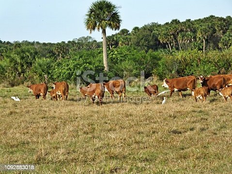 Bradford Cattle and calves are accompanied by Cattle Egrets and walk to another field