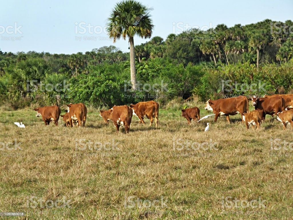 Bradford Cattle and calves, a cross between a Hereford bull and a Brahman cow, are walking to another field stock photo